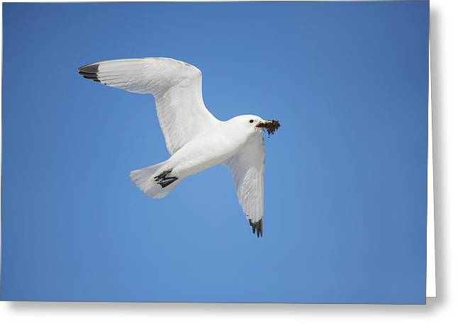 Flying Seagull Greeting Cards - Kittiwake in flight Greeting Card by Science Photo Library