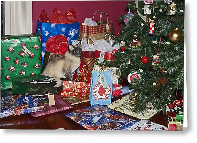 Tonkinese Cat Greeting Cards - Kitty Gifts Greeting Card by Sally Weigand