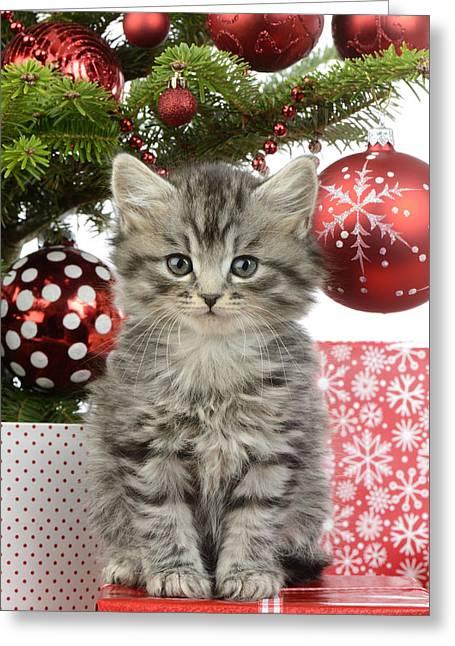 Xmas Photographs Greeting Cards - Kitty Xmas Present Greeting Card by Greg Cuddiford