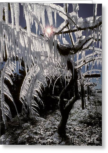 North American Vine Greeting Cards - Kiwi Vines With Icicles Greeting Card by Ron Sanford