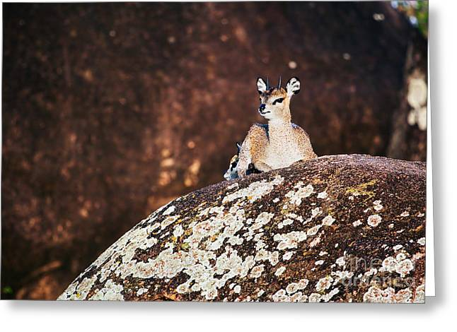 Serengeti Animal Greeting Cards - Klipspringer on rocks. Serengeti. Tanzania in Africa Greeting Card by Michal Bednarek