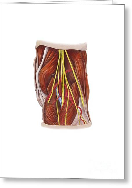 Sciatic Nerves Greeting Cards - Knee Nerve Plexus, Artwork Greeting Card by D & L Graphics