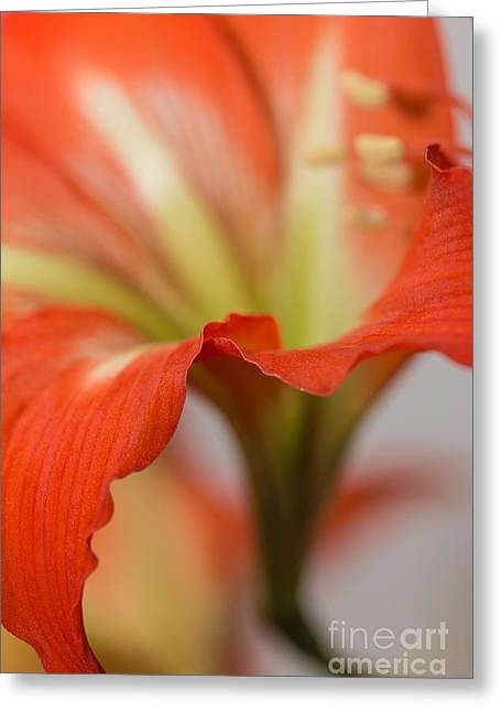 S Amaryllis Greeting Cards - Knights Star Lily Greeting Card by Jivko Nakev