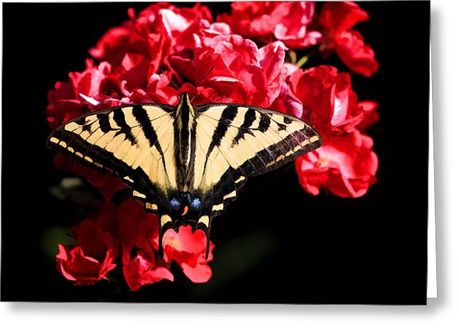 Swallowtail Butterflies Greeting Cards - Knockout Greeting Card by Donna Kennedy