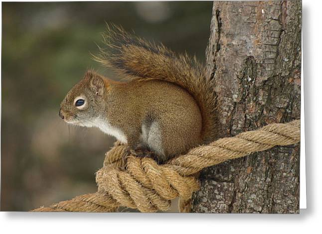 Peterson Nature Photography Greeting Cards - Knotty Squirrel Greeting Card by James Peterson