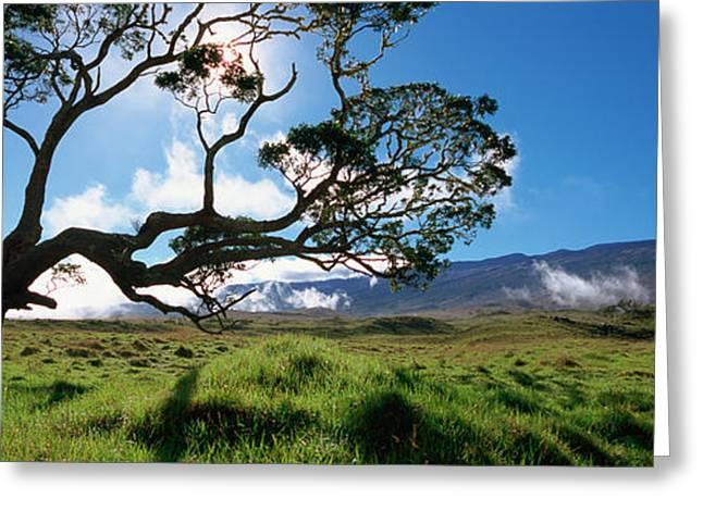 Tree. Acacia Greeting Cards - Koa Tree On A Landscape, Mauna Kea, Big Greeting Card by Panoramic Images