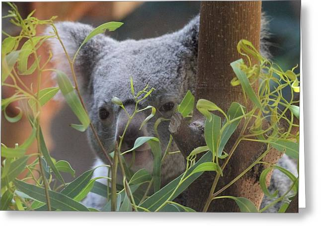 Koala Photographs Greeting Cards - Koala Bear  Greeting Card by Dan Sproul