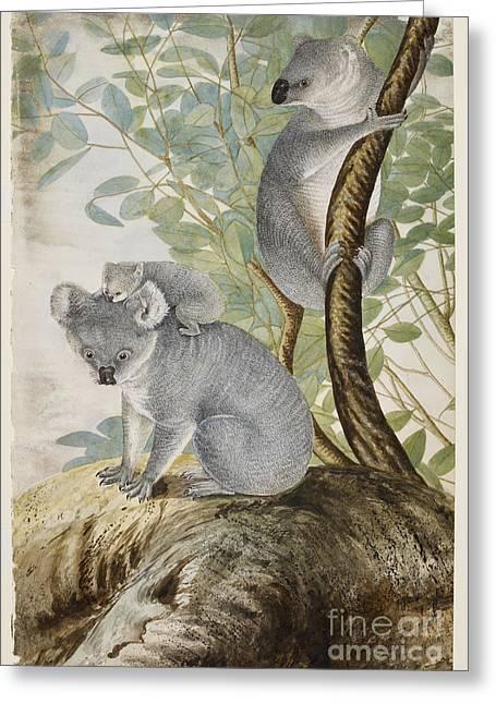 Australia - Australasia Greeting Cards - Koala Bears Greeting Card by British Library