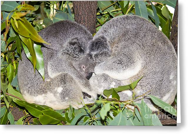 Koala Photographs Greeting Cards - Koala Bears Greeting Card by William H. Mullins