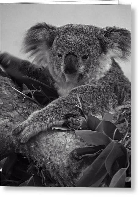 Koala Art Greeting Cards - Koala Greeting Card by Chris Flees