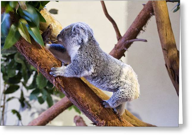 Print On Canvas Greeting Cards - Koala climbing tree Greeting Card by Chris Flees