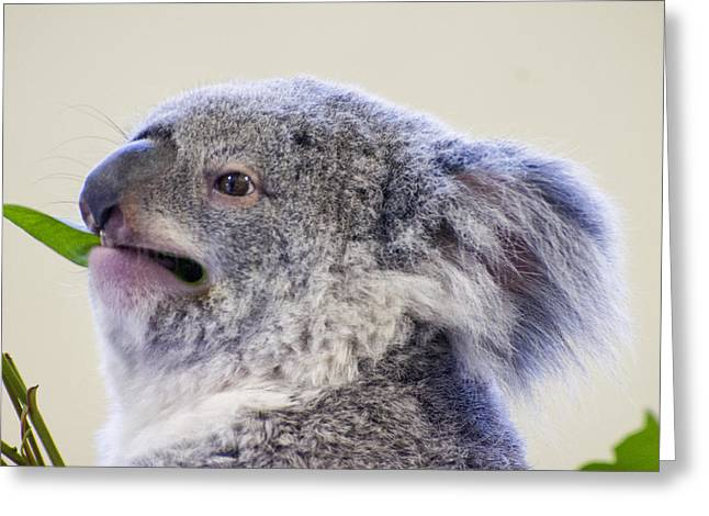Koala Close Up Greeting Card by Chris Flees