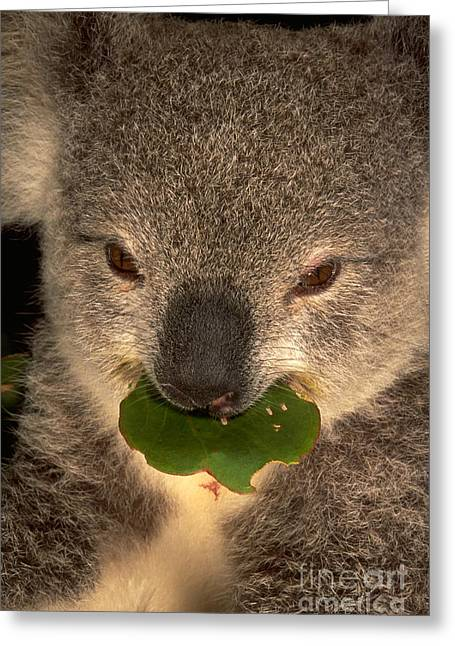 Koala Photographs Greeting Cards - Koala Eating Eucalyptus Greeting Card by Art Wolfe