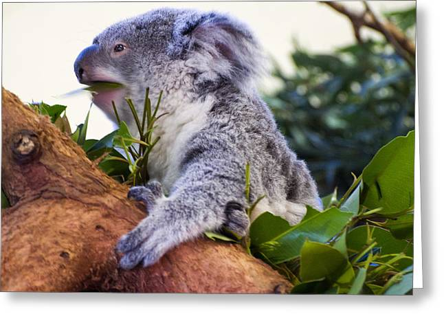 Koala Photographs Greeting Cards - Koala eating in a tree Greeting Card by Chris Flees