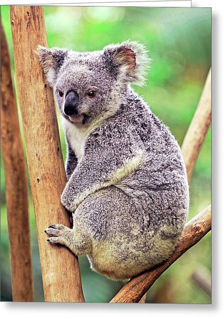 Koala In A Tree Greeting Card by Bildagentur-online/mcphoto-schulz