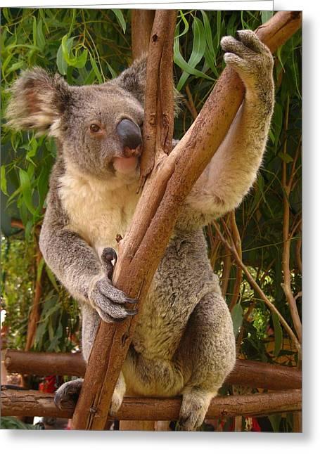 Laura Hiesinger Greeting Cards - Koala  Greeting Card by Laura Hiesinger