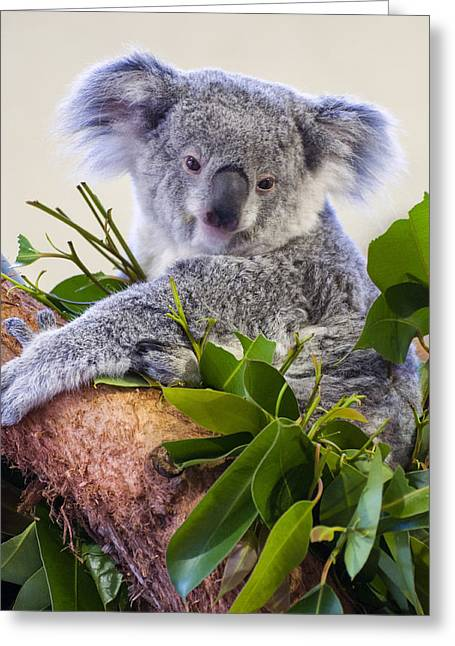 Koala On Top Of A Tree Greeting Card by Chris Flees