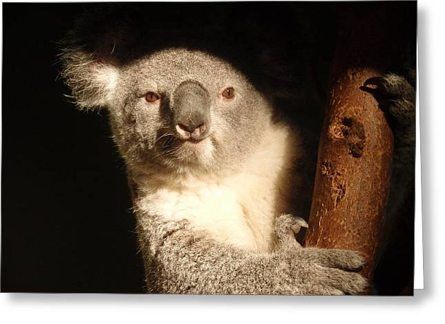 Sharp Claws Greeting Cards - Koala Greeting Card by Toni Abdnour