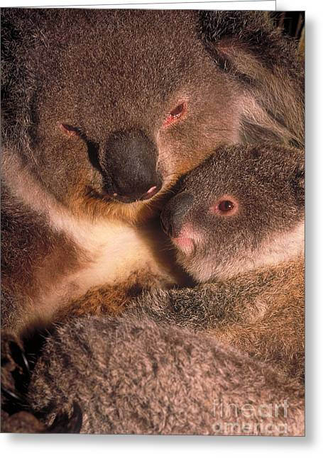 Koala Photographs Greeting Cards - Koala With Young Greeting Card by Art Wolfe