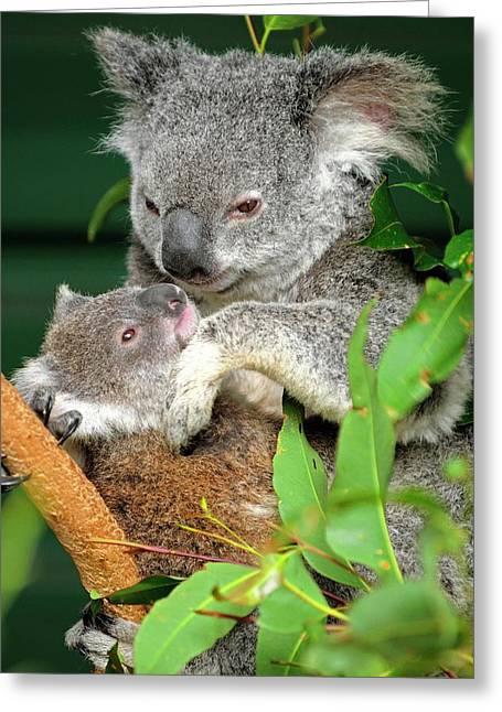 Koalas Greeting Card by Bildagentur-online/mcphoto-schulz
