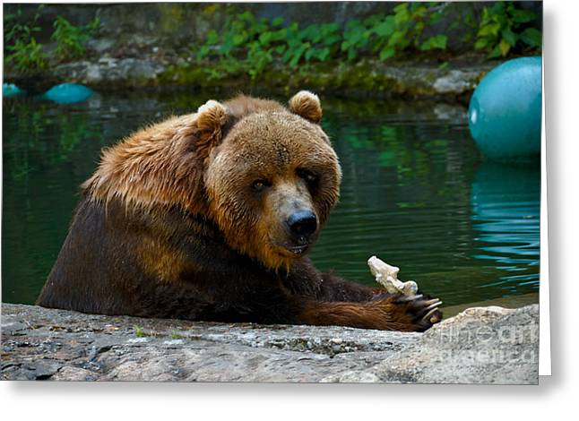 Pittsburgh Zoo Greeting Cards - Kodiak Bear Pittsburgh Zoo Greeting Card by Amy Cicconi