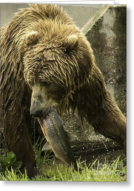 Tim Moore Greeting Cards - Kodiak Prize Greeting Card by Tim Moore