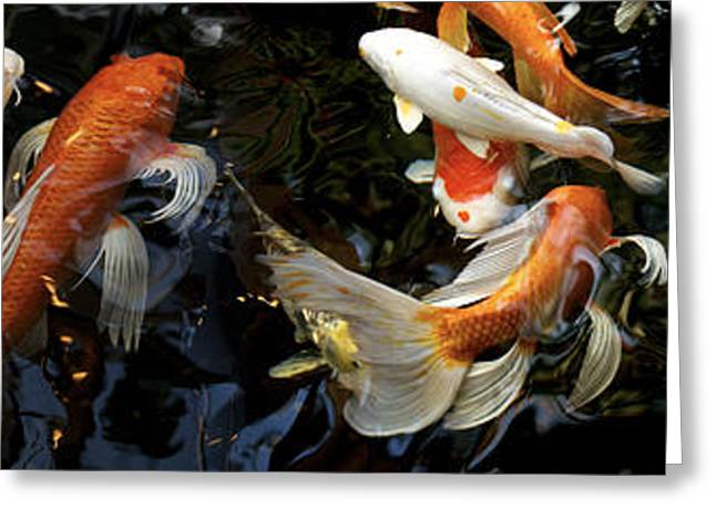 Sea Animals Greeting Cards - Koi Carp Swimming Underwater Greeting Card by Panoramic Images
