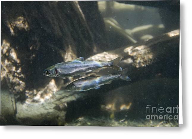 Sockeye Greeting Cards - Kokanee Salmon Smolts Greeting Card by William H. Mullins