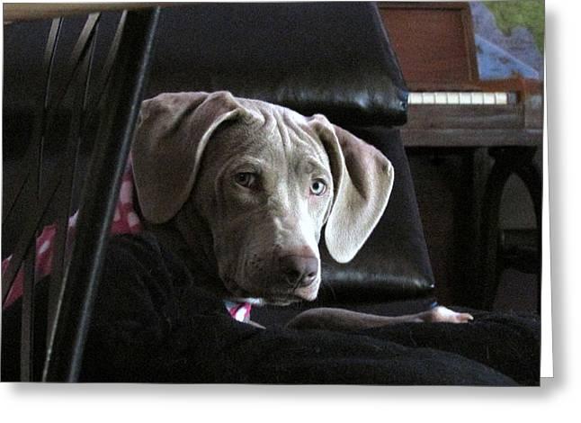 Weimaraner Puppy Greeting Cards - Koko Greeting Card by Kathrine Graphman