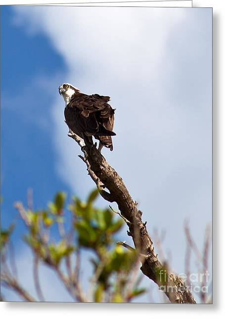 Michelle Greeting Cards - Koko The Osprey Greeting Card by Michelle Wiarda