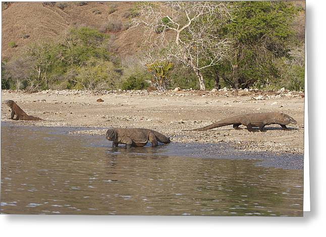 Komodo Dragons Greeting Card by M. Watson