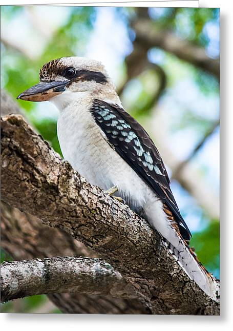 Birds On A Branch Greeting Cards - Kookaburra  Greeting Card by Parker Cunningham