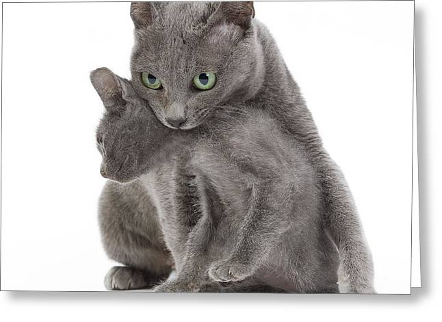Gray Hair Greeting Cards - Korat Cat And Kitten Greeting Card by Jean-Michel Labat