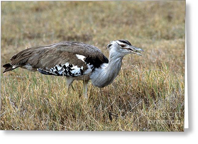 Feeding Birds Greeting Cards - Kori Bustard Greeting Card by William H. Mullins