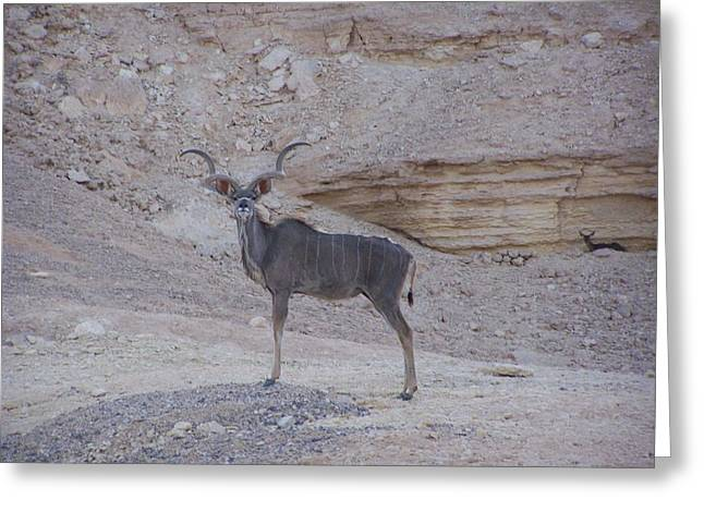 Noreen Hacohen Greeting Cards - Kudu King Greeting Card by Noreen HaCohen