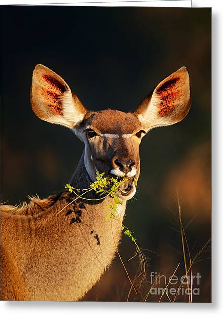 Green Foliage Greeting Cards - Kudu portrait eating green leaves Greeting Card by Johan Swanepoel