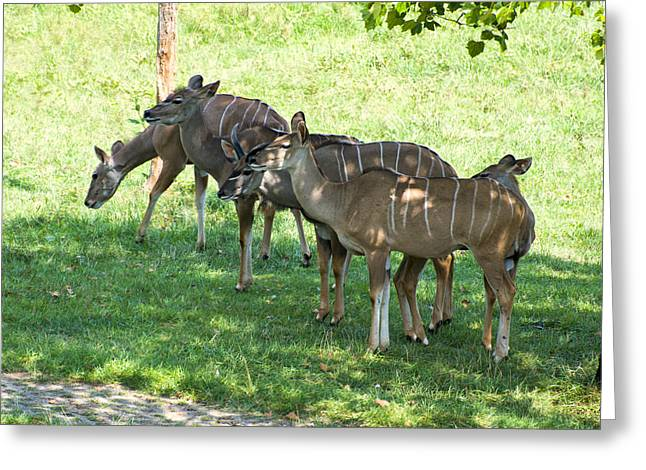 Animal Pics Greeting Cards - Kudu Antelope in a straight line Greeting Card by Chris Flees