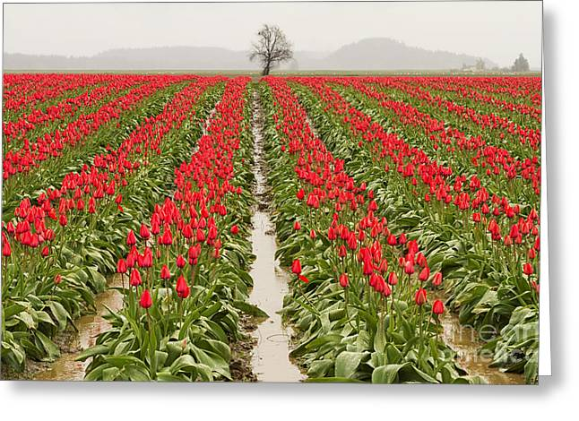 Tulip Fields Greeting Cards - Kung Fu Tulip Perspective Greeting Card by Mark Kiver