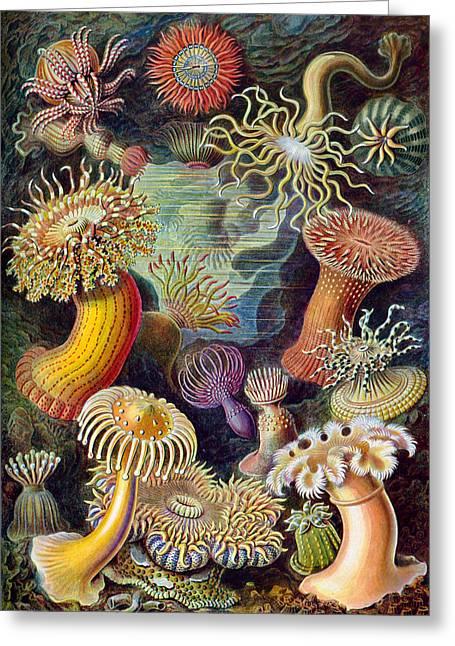 Kunstformen Der Natur Greeting Cards - Kunstformen der Natur. Actiniae Greeting Card by Adolf Giltsch