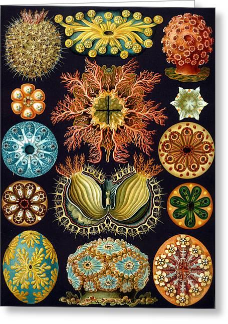 Kunstformen Der Natur Greeting Cards - Kunstformen der Natur. Ascidiae Greeting Card by Adolf Giltsch