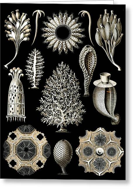 Kunstformen Der Natur Greeting Cards - Kunstformen der Natur. Calcispongiae Greeting Card by Adolf Giltsch