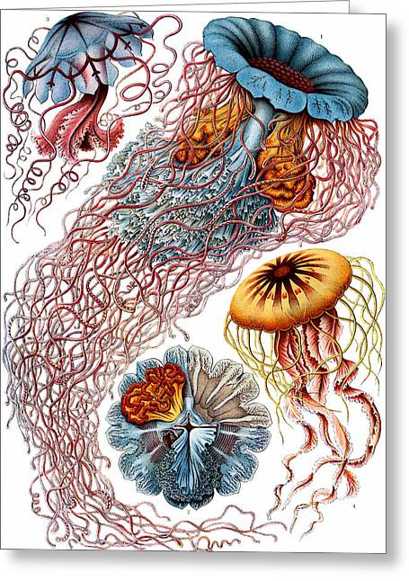 Kunstformen Der Natur Greeting Cards - Kunstformen der Natur. Discomedusae Greeting Card by Adolf Giltsch
