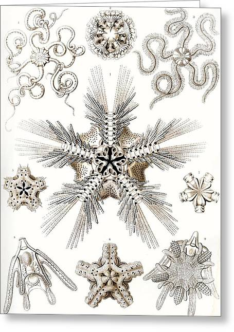 Vertical Drawings Greeting Cards - Kunstformen der Natur Greeting Card by Ernst Haeckel
