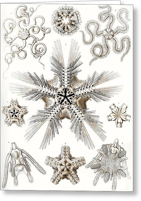 Kunstformen Der Natur Greeting Card by Ernst Haeckel