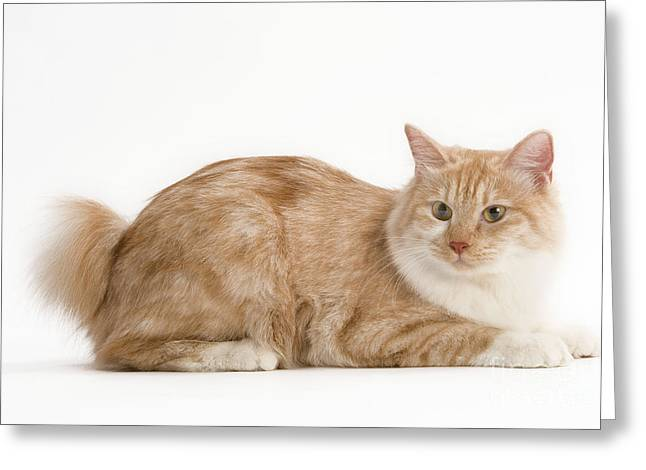 Bobtails Greeting Cards - Kurilian Bobtail Cat Greeting Card by Jean-Michel Labat