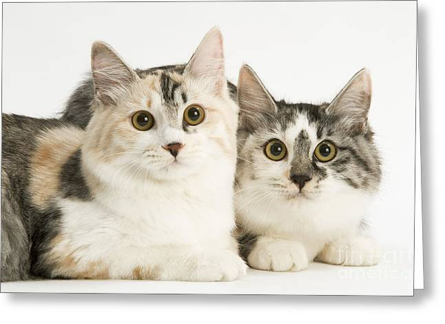 Bobtails Greeting Cards - Kurilian Bobtail Cats Greeting Card by Jean-Michel Labat