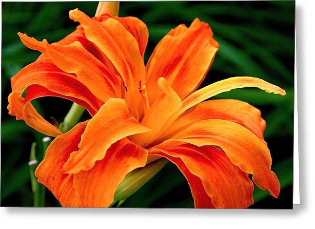 Lily Art Greeting Cards - Kwanso Lily Greeting Card by Rona Black