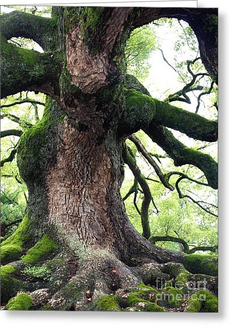 Kyoto Greeting Cards - Kyoto Temple Tree Greeting Card by Carol Groenen