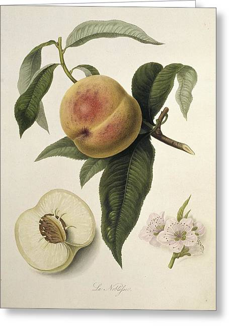 Prunus Persica Greeting Cards - La Noblesse Peach (1818) Greeting Card by Science Photo Library