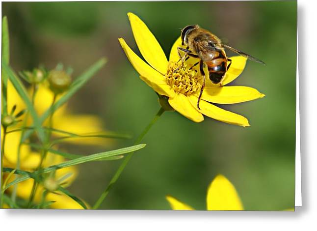 Tickseed Greeting Cards - LAbeille Greeting Card by Nikolyn McDonald